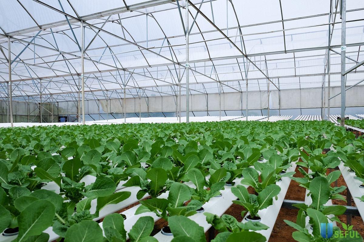 Hình ảnh rau sạch được trồng tại resort