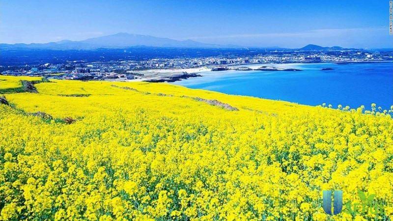 Cánh đồng hoa cúc là điểm du lịch hè lý tưởng ở Hàn Quốc