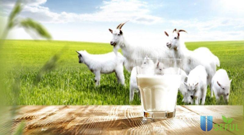 Sữa dê hiện được nhiều mẹ lựa chọn cho trẻ nhỏ