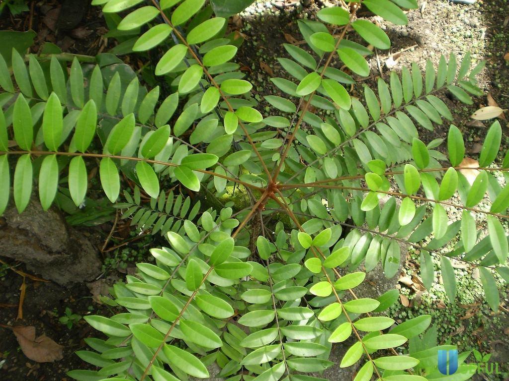 Chiết suất cây Tongkat Ali có nguồn gốc tại Ấn Độ