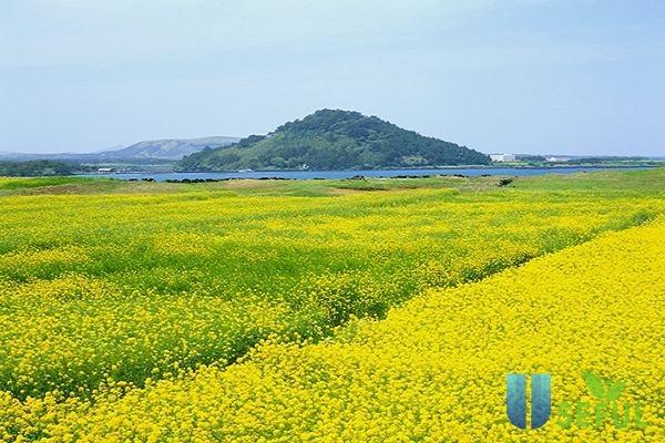Cánh đồng hoa cải ở Jeju (Nguồn: chaptertravel.com)